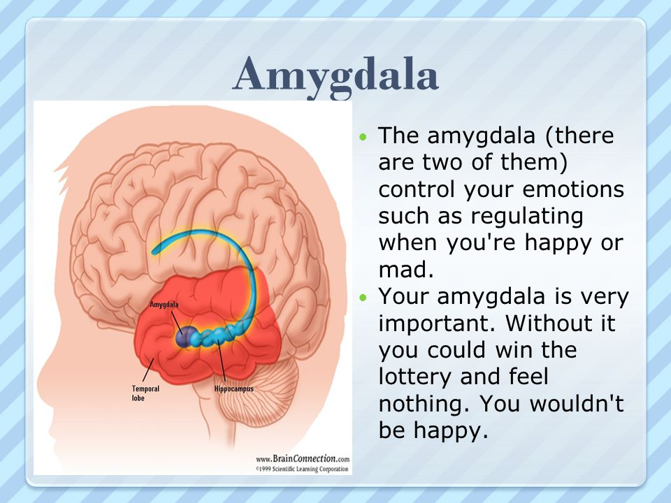Amygdala The amygdala (there are two of them) control your emotions such as regulating when you re happy or mad.