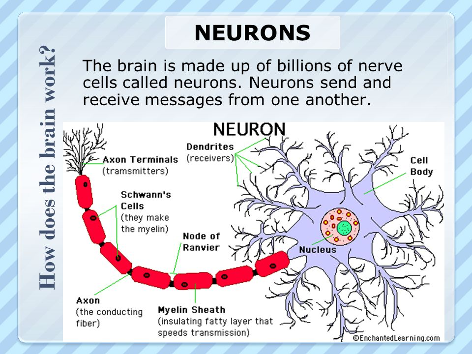 How does the brain work Neurons