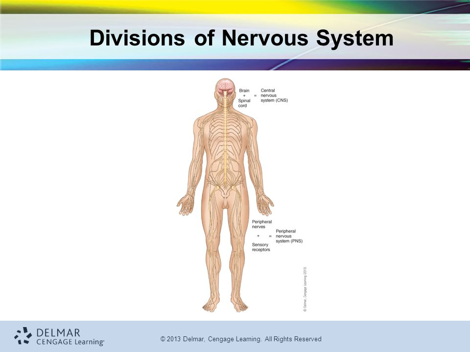Divisions of Nervous System