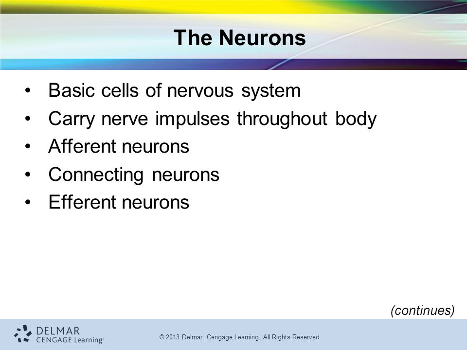 The Neurons Basic cells of nervous system