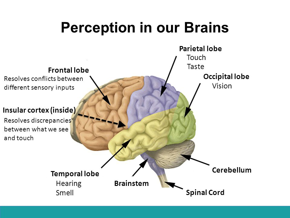 Perception in our Brains