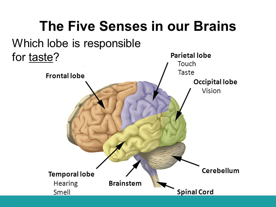 The Five Senses in our Brains