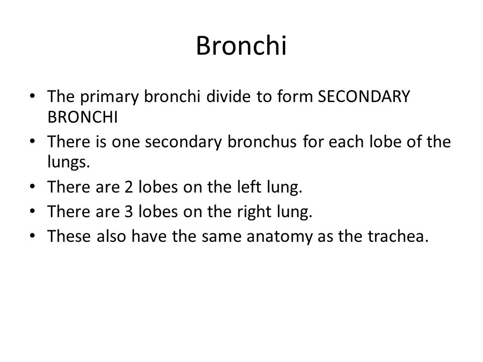 Bronchi The primary bronchi divide to form SECONDARY BRONCHI