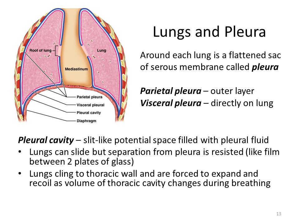 Lungs and Pleura Around each lung is a flattened sac of serous membrane called pleura. Parietal pleura – outer layer.