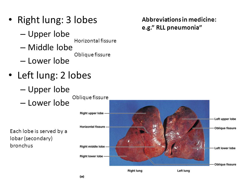 Right lung: 3 lobes Left lung: 2 lobes Upper lobe Middle lobe