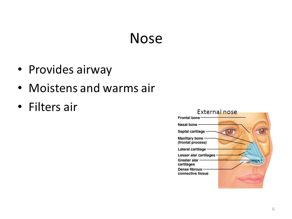 Nose Provides airway Moistens and warms air Filters air External nose
