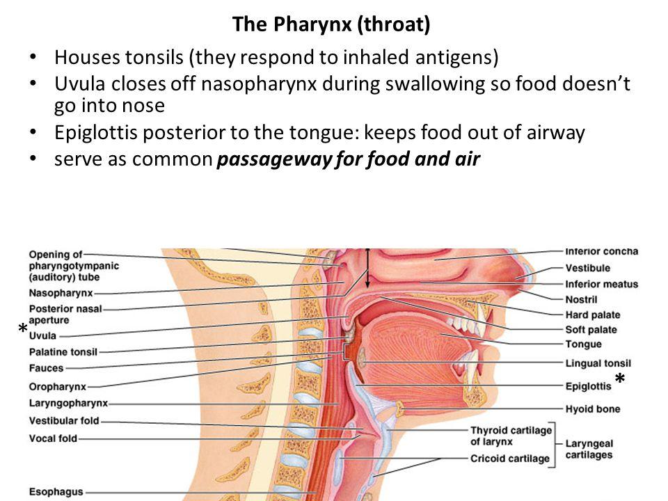 * * The Pharynx (throat)