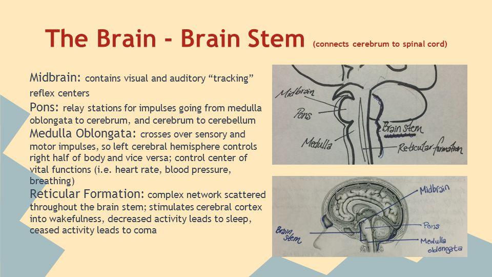 The Brain - Cerebellum