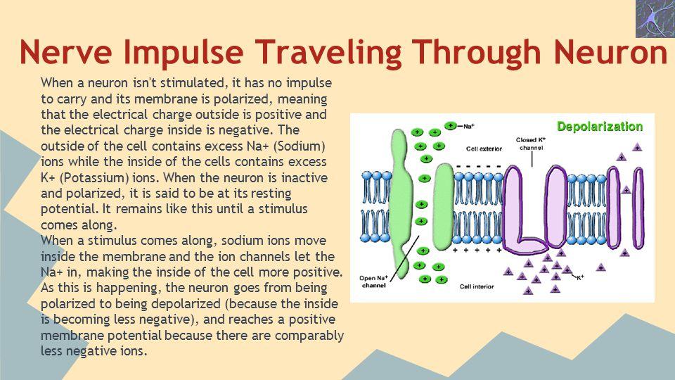 Nerve Impulse Traveling Through Neuron