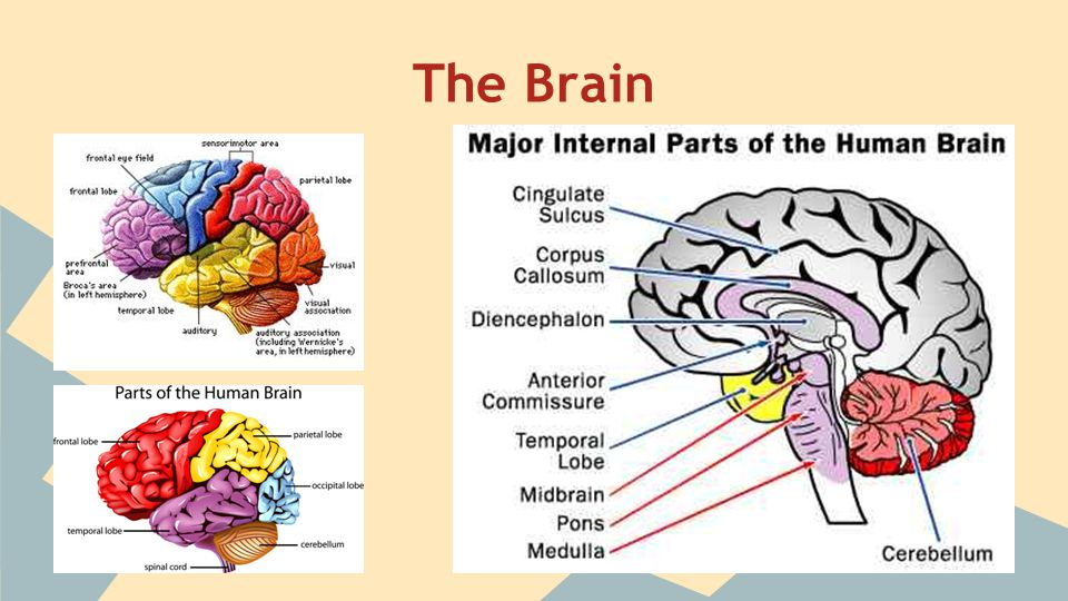 The Brain - The Major Parts