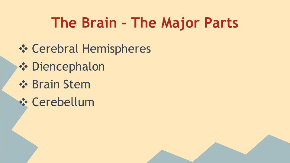The Brain - Cerebral Hemispheres