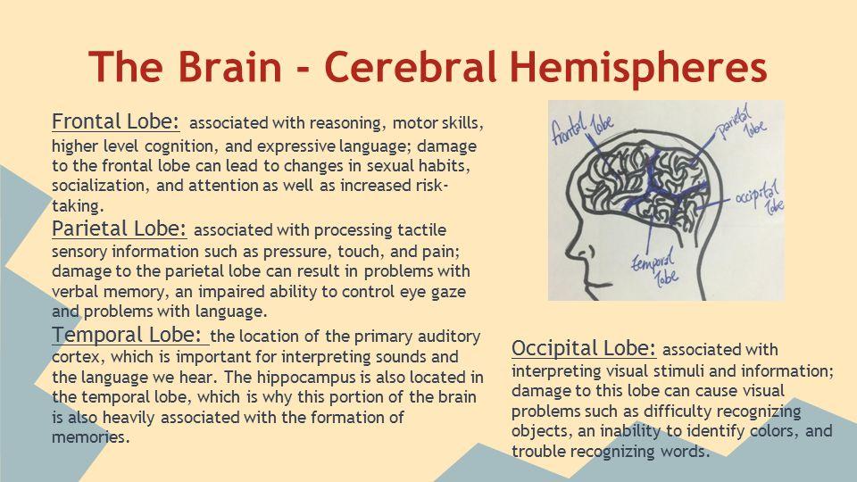 The Brain - Diencephalon