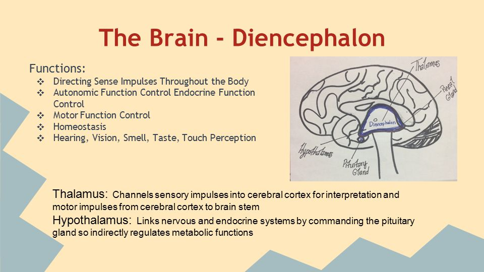 The Brain - Brain Stem (connects cerebrum to spinal cord)