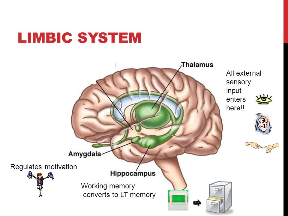 Limbic System All external sensory input enters here!!
