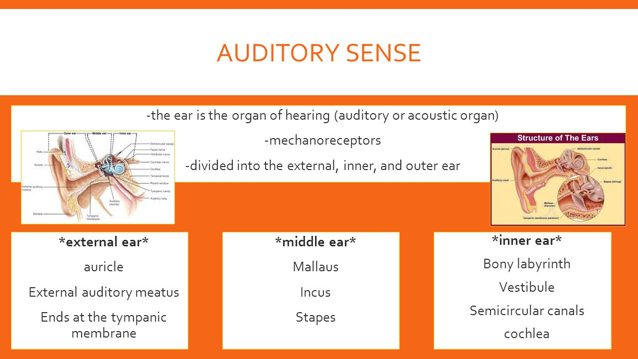 Auditory Sense -the ear is the organ of hearing (auditory or acoustic organ) -mechanoreceptors. -divided into the external, inner, and outer ear.