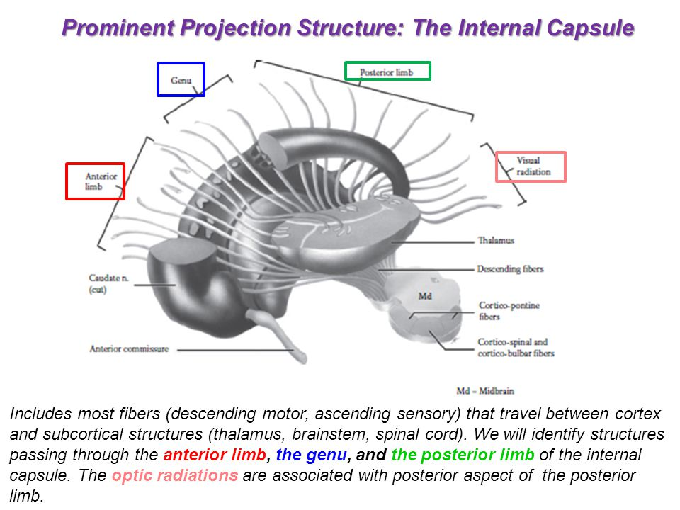 Prominent Projection Structure: The Internal Capsule