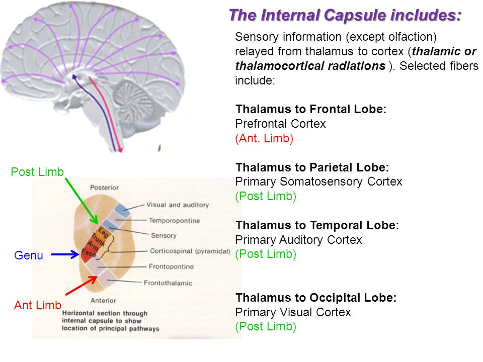 The Internal Capsule includes: