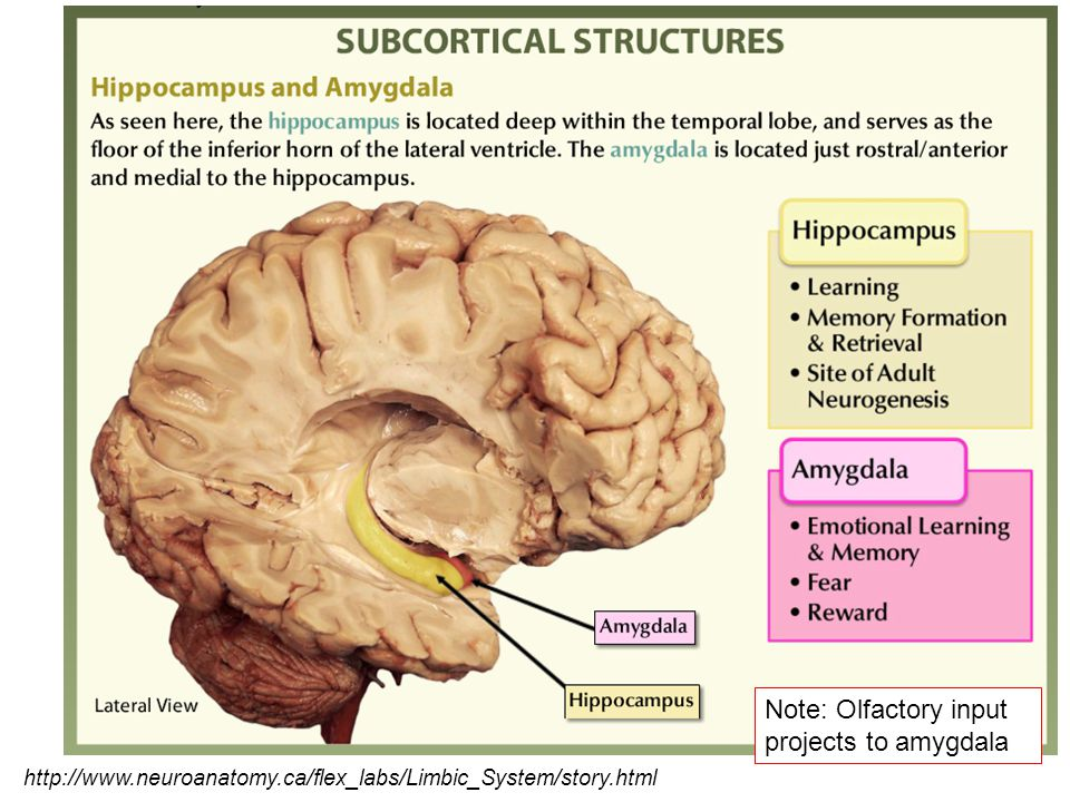 Note: Olfactory input projects to amygdala