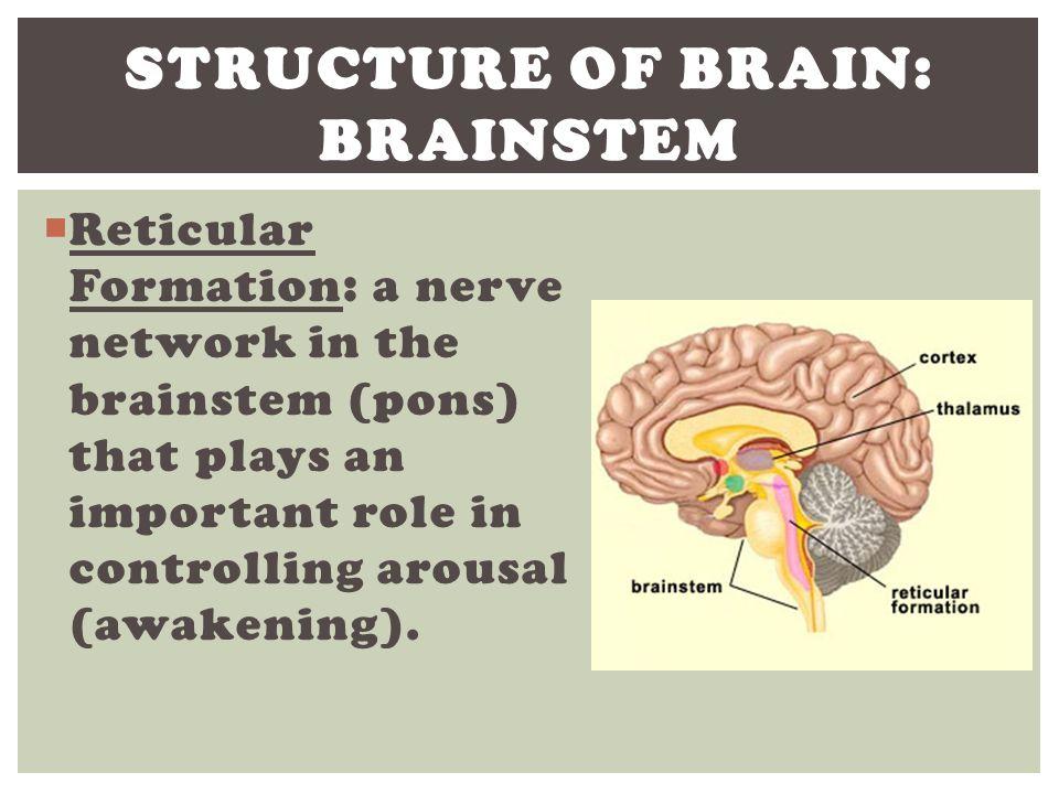 Structure of Brain: Brainstem