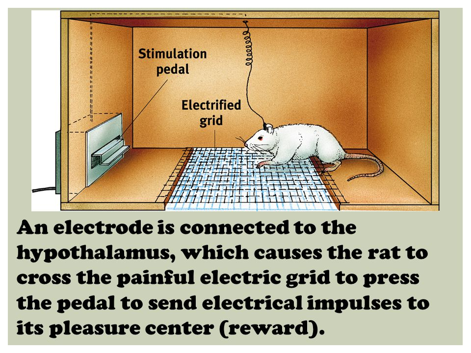 An electrode is connected to the hypothalamus, which causes the rat to cross the painful electric grid to press the pedal to send electrical impulses to its pleasure center (reward).