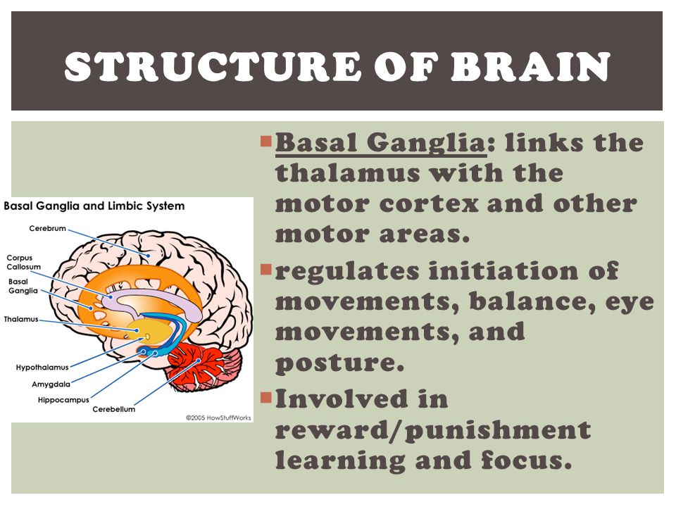 Structure of Brain Basal Ganglia: links the thalamus with the motor cortex and other motor areas.