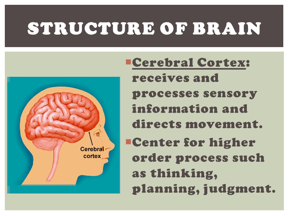 "how brain structure influences judgments The frontal lobe, the judgment center or ceo of the brain, allows the individual to contemplate and plan actions, to evaluate consequences of behaviors, to assess risk, and to think strategically it is also the ""inhibition center"" of the brain, discouraging the individual from acting impulsively."