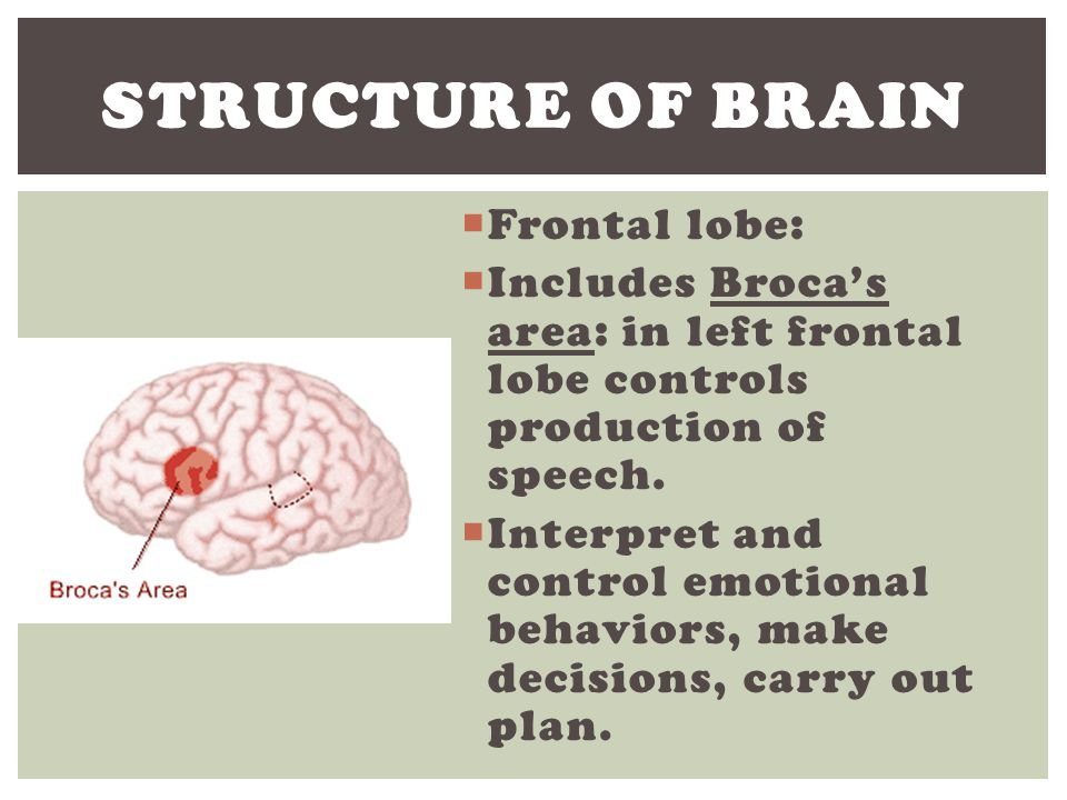 Structure of Brain Frontal lobe: