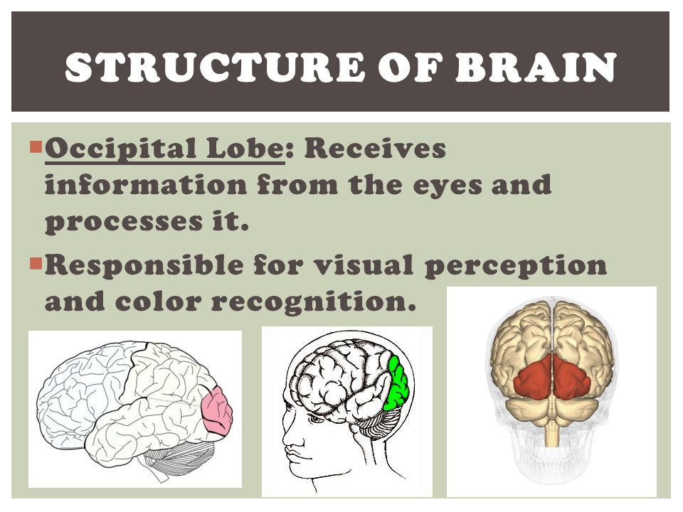Structure of Brain Occipital Lobe: Receives information from the eyes and processes it.