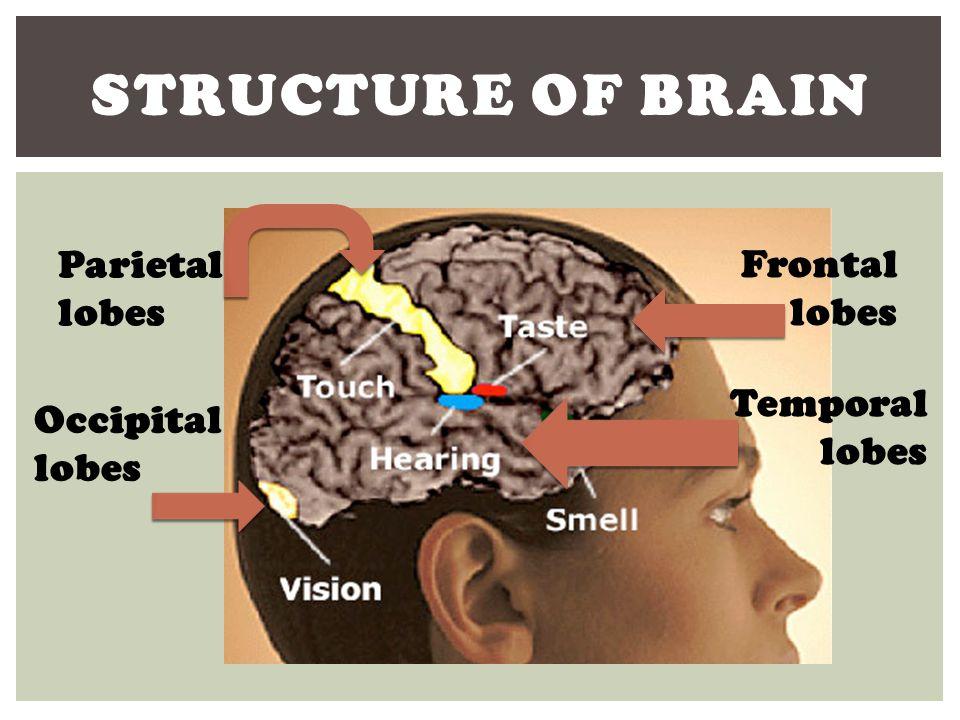 Structure of Brain Parietal lobes Frontal lobes Temporal lobes
