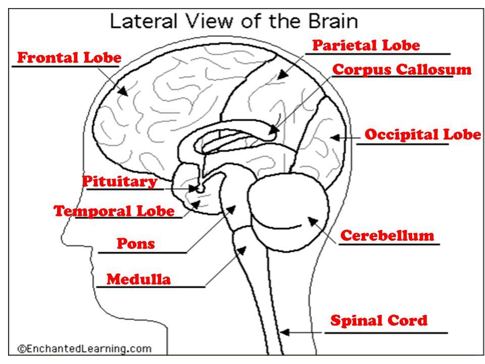 Parietal Lobe Frontal Lobe. Corpus Callosum. Occipital Lobe. Pituitary. Temporal Lobe. Cerebellum.