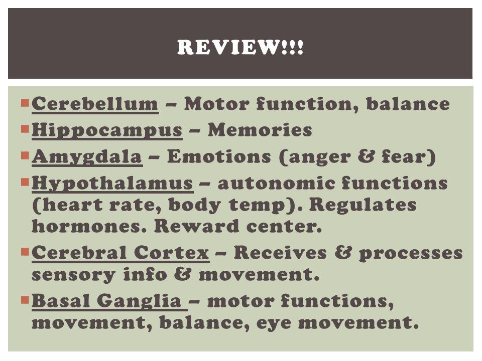 Review!!! Cerebellum – Motor function, balance Hippocampus – Memories