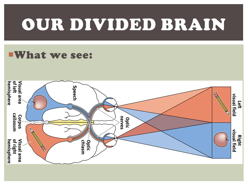 Our Divided brain What we see: