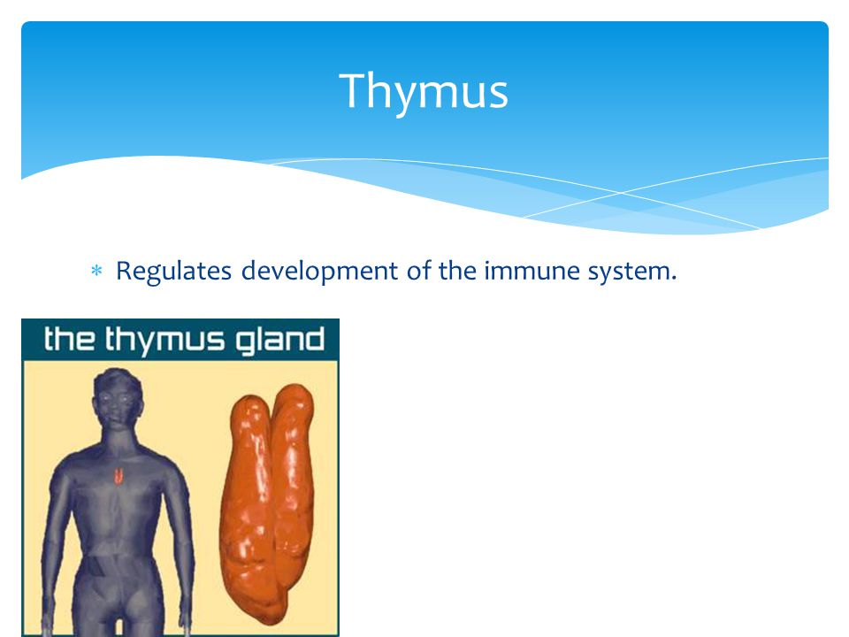 Thymus Regulates development of the immune system.