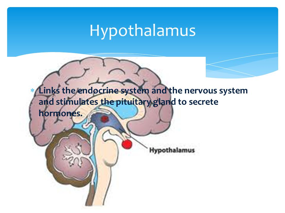 Hypothalamus Links the endocrine system and the nervous system and stimulates the pituitary gland to secrete hormones.