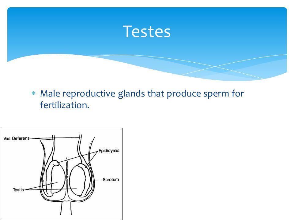 Testes Male reproductive glands that produce sperm for fertilization.