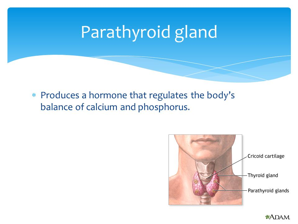 Parathyroid gland Produces a hormone that regulates the body's balance of calcium and phosphorus.