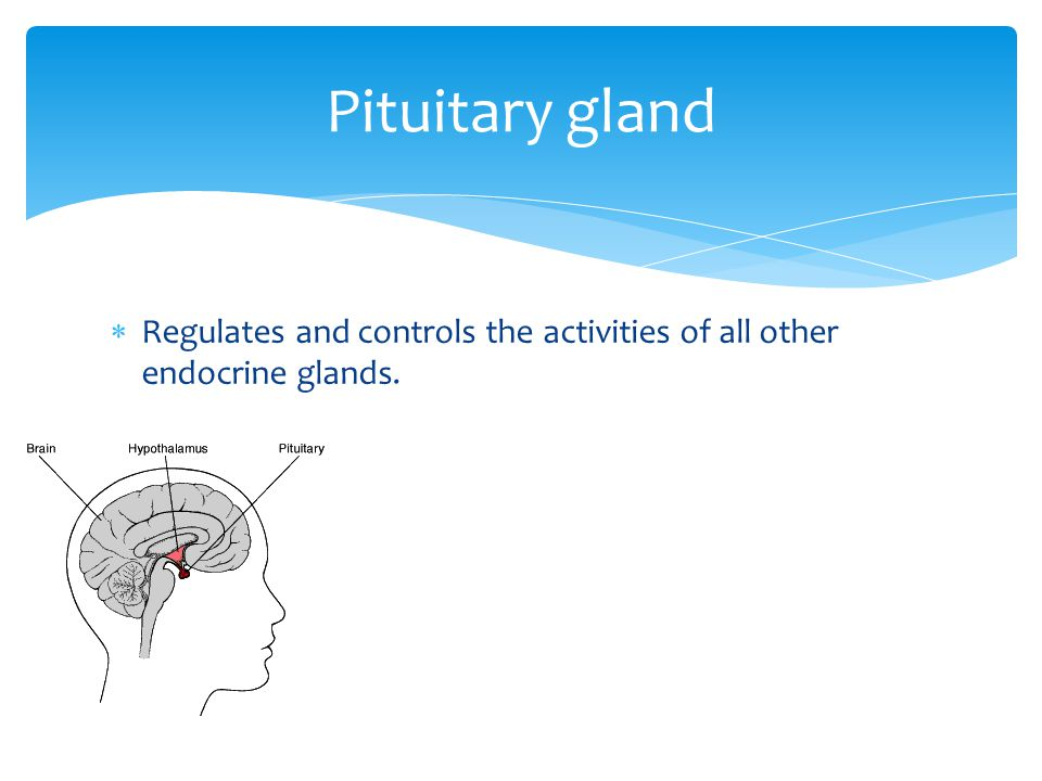 Pituitary gland Regulates and controls the activities of all other endocrine glands.