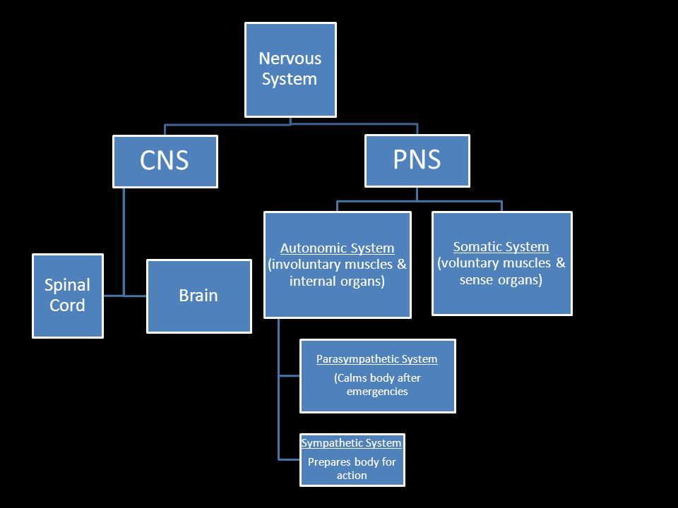 CNS PNS Nervous System Spinal Cord Brain