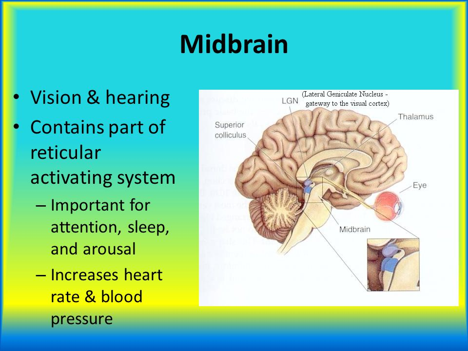 Midbrain Vision & hearing Contains part of reticular activating system