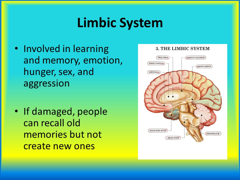 Limbic System Involved in learning and memory, emotion, hunger, sex, and aggression.