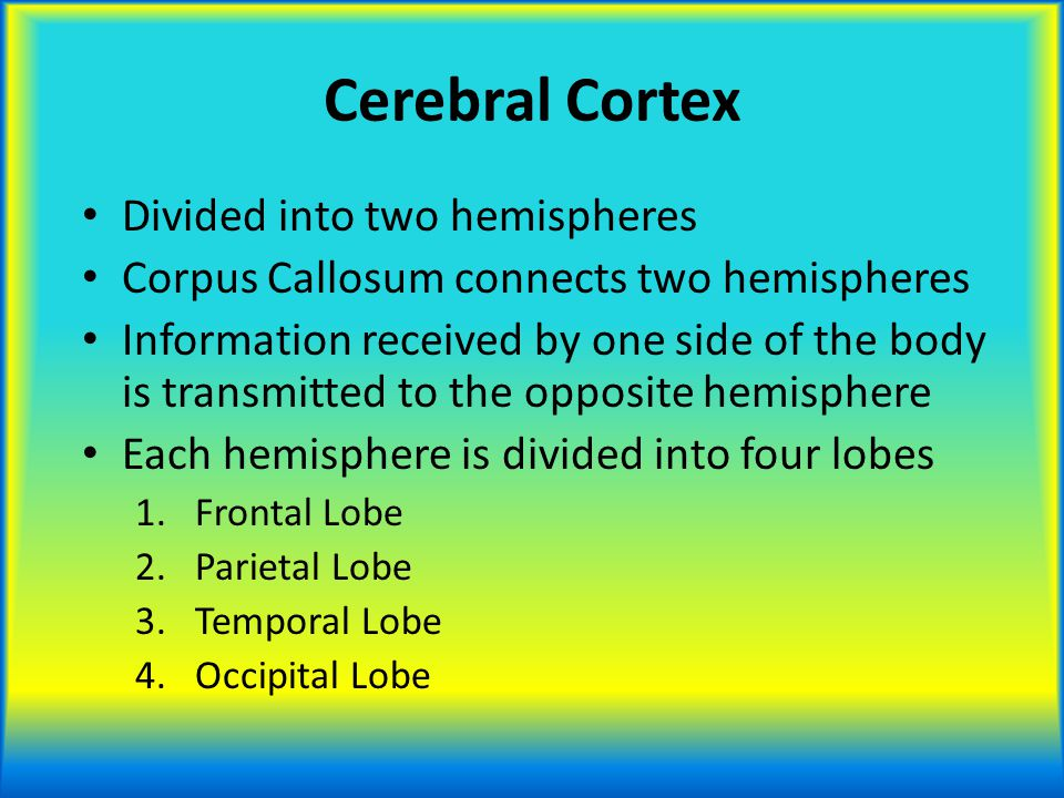 Cerebral Cortex Divided into two hemispheres