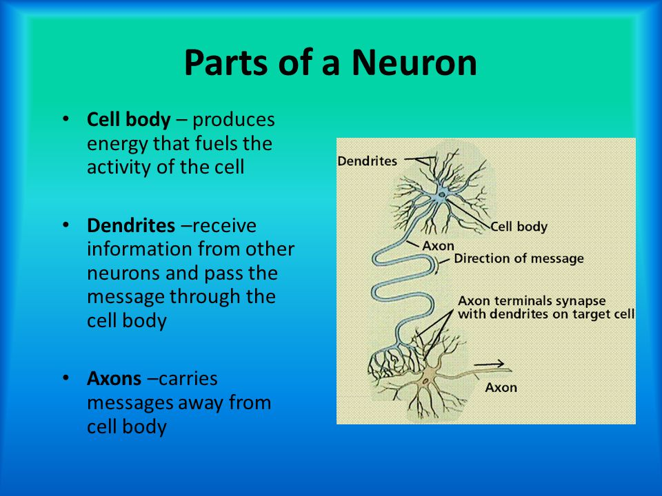 Parts of a Neuron Cell body – produces energy that fuels the activity of the cell.