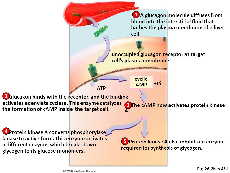 unoccupied glucagon receptor at target cell's plasma membrane