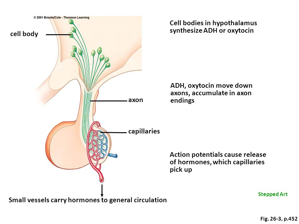 Cell bodies in hypothalamus synthesize ADH or oxytocin