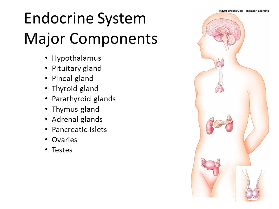 Endocrine System Major Components