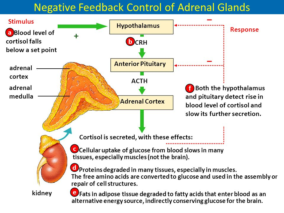 Negative Feedback Control of Adrenal Glands