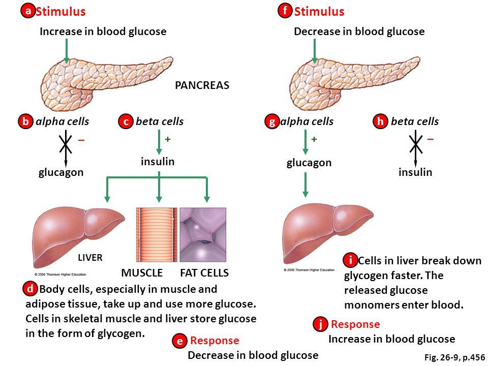 Increase in blood glucose Decrease in blood glucose