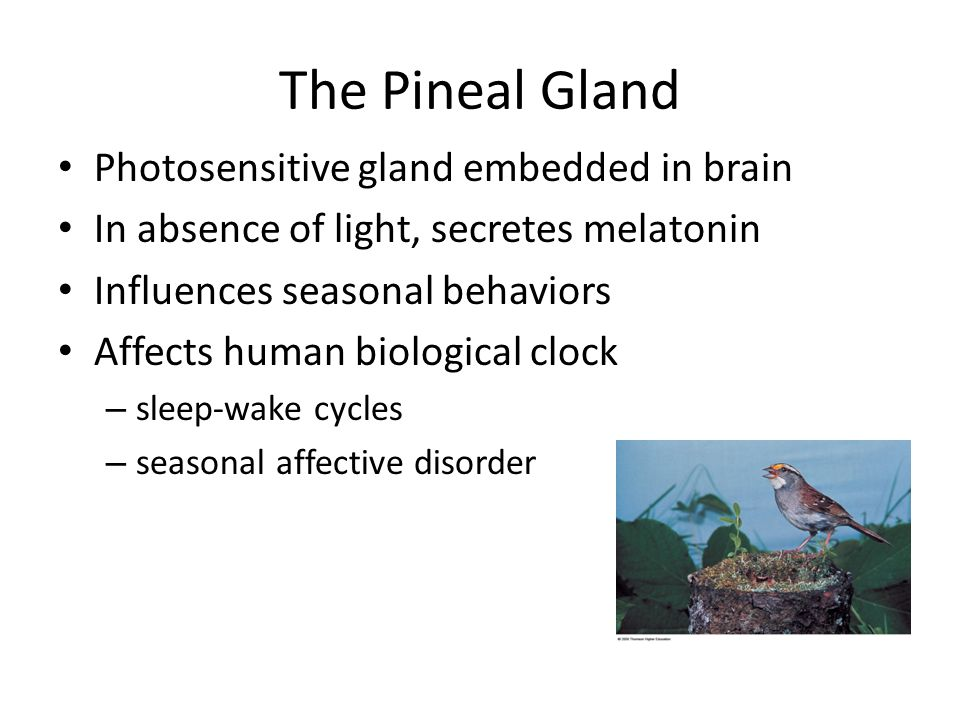 The Pineal Gland Photosensitive gland embedded in brain
