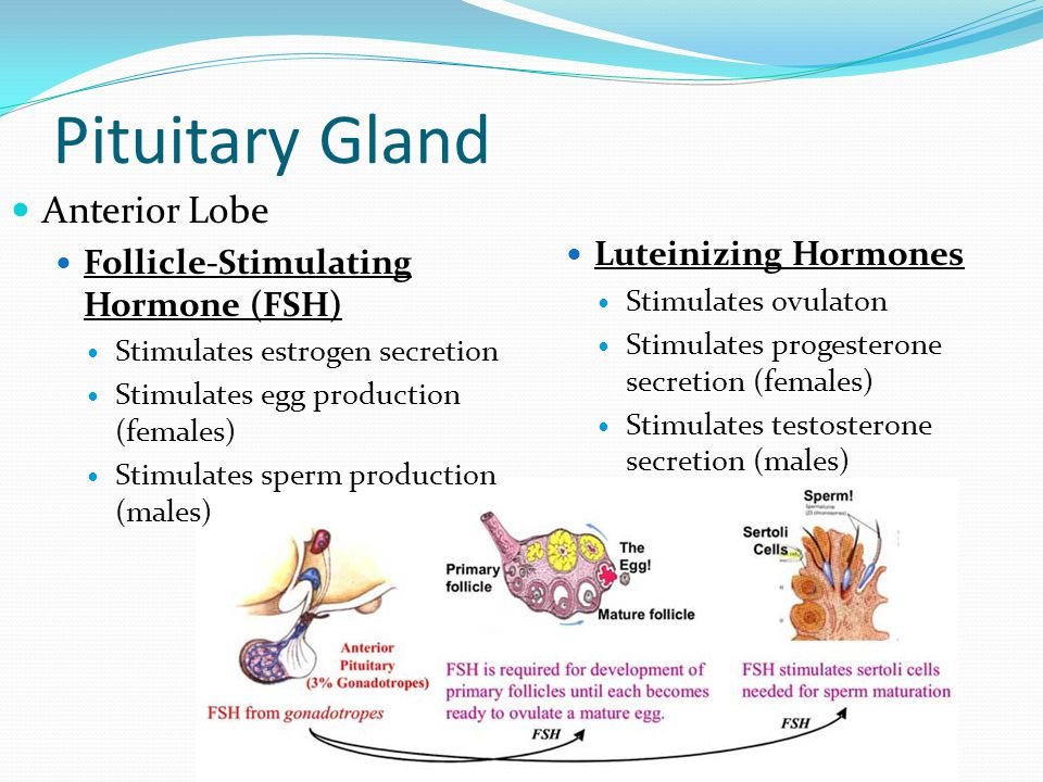 Pituitary Gland Anterior Lobe Luteinizing Hormones