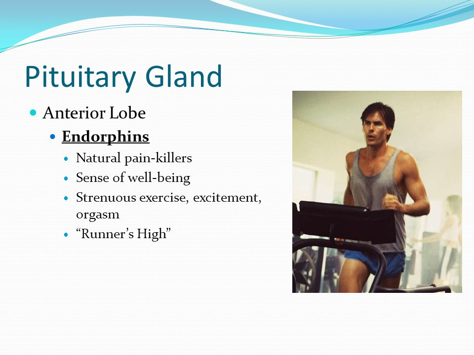 Pituitary Gland Anterior Lobe Endorphins Natural pain-killers